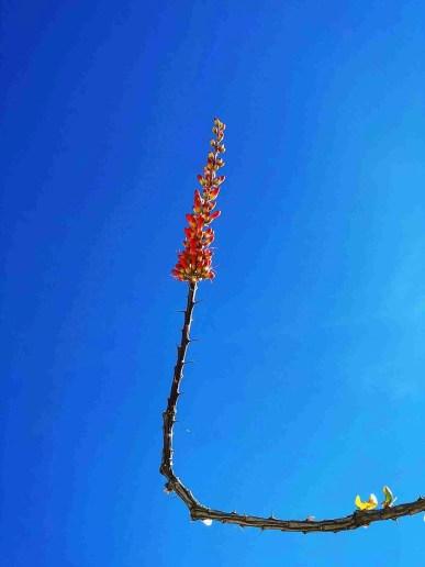 ocotillo flower blooming