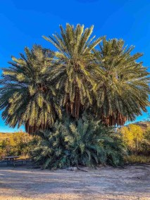 palms at Hot Springs District at Big Bend National Park