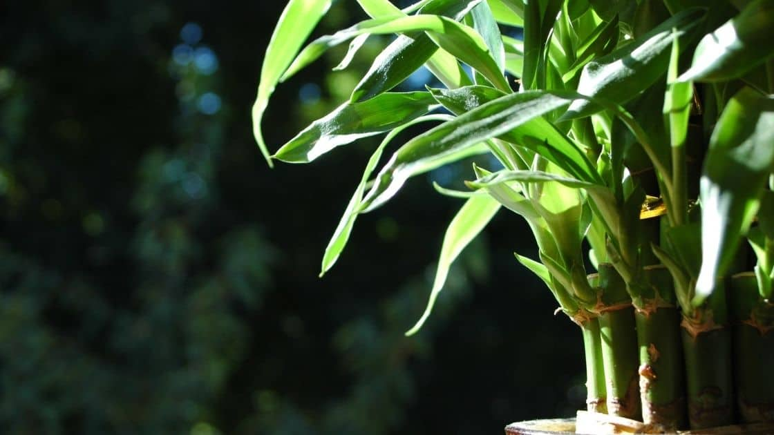 how to plant a bamboo plant Images