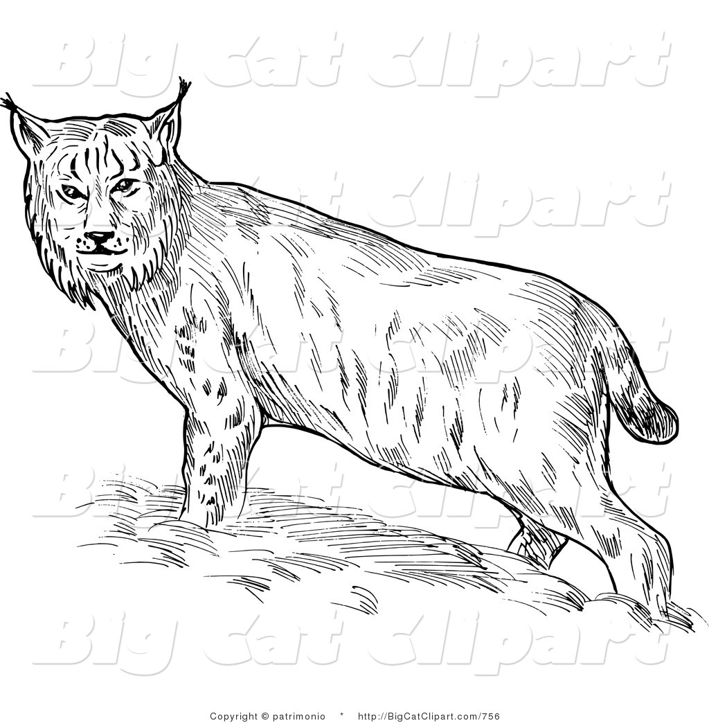 Royalty Free Stock Big Cat Designs Of Bobcats
