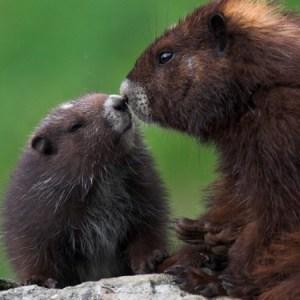 Marmot baby!