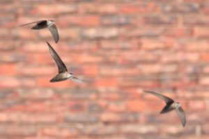 chimney swifts in flight