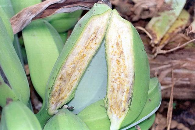 ICT-based citizen science for preventing Banana Xanthomonas Wilt