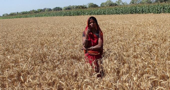 female-wheat-farmer-india-cimmyt-680x360