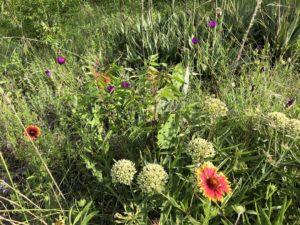 milkweed flowers, prickly pear and wine cup flowers