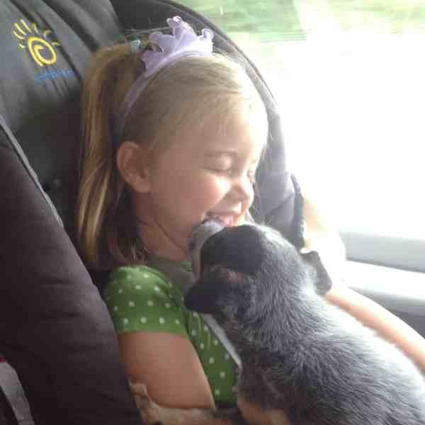 Blue Heeler puppy kisses