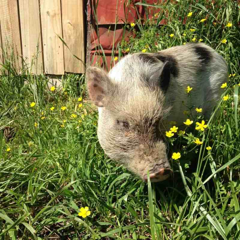 Clover the Pig Thinks She's a Dog.
