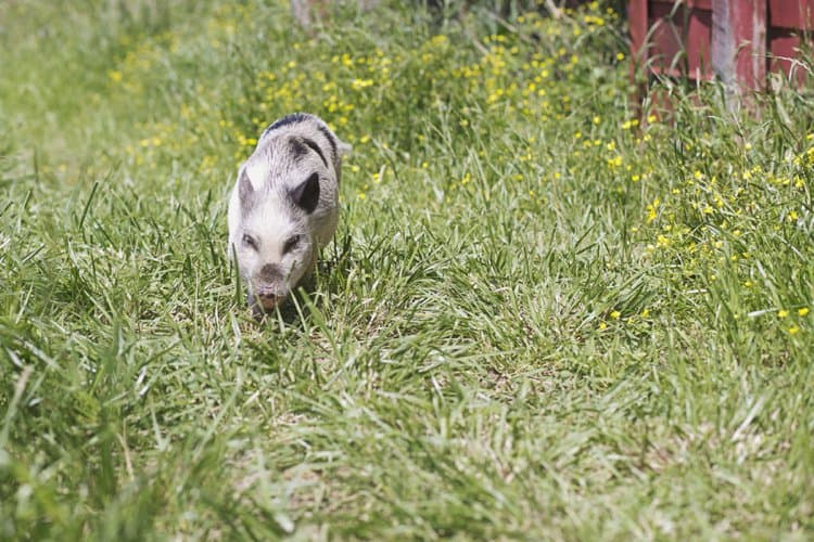 Clover the pig outside her barn