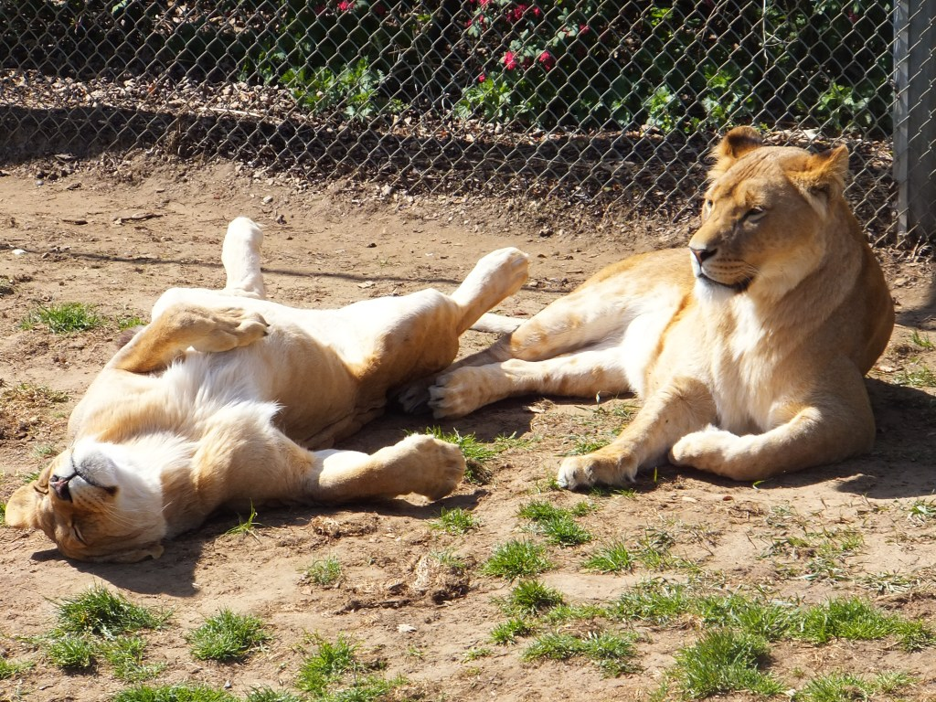 two lions sunbathing at Africa Alive
