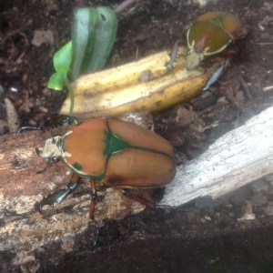 giant African fruit beetle