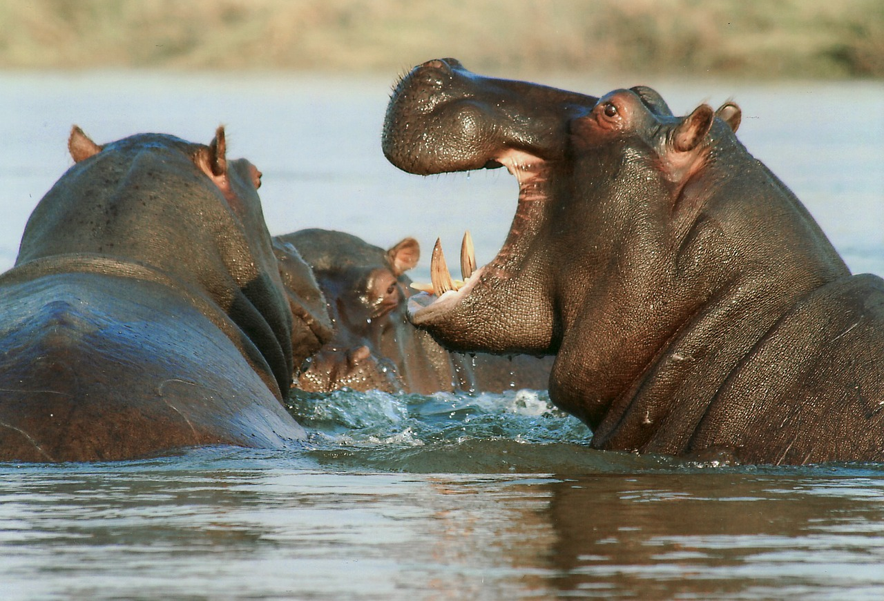 Top Tips For Going On Safari may mean you get to see a hippo in the water
