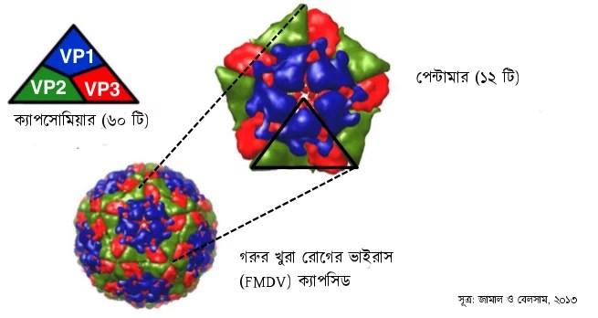 capsomere_FMDV_bangla