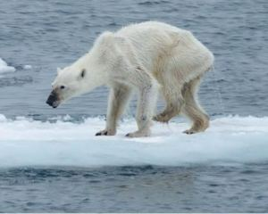 Skinny polar bear: Photo Kerstin Langenberger