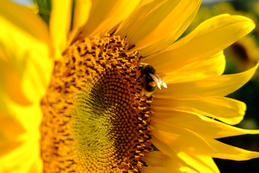 A bee enjoying the sunflowers