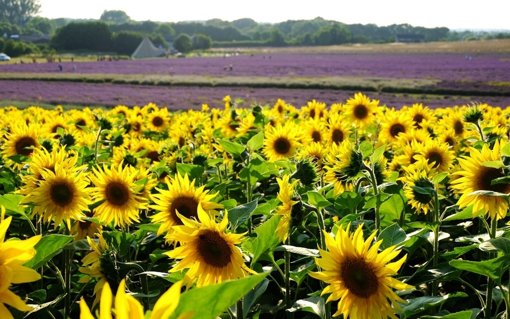 Lavender fields and sunflowers in Hitchin