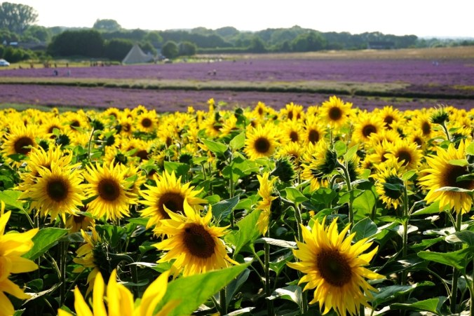 Hitchin sunflowers, lavender and wigwam in the background