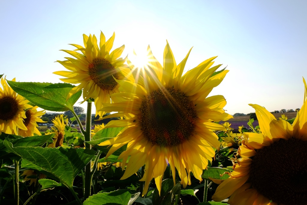 Hitchin sunflowers and a sunburst