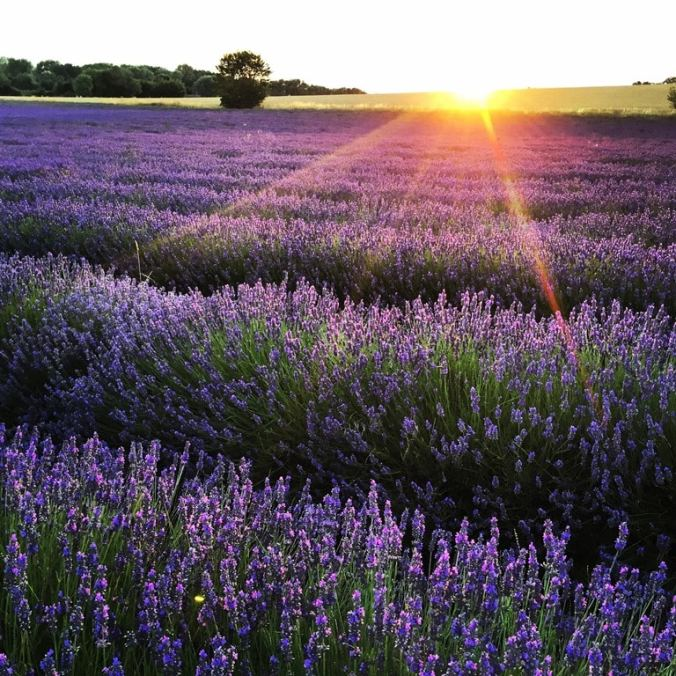 My competition winning Hitchin lavender photo