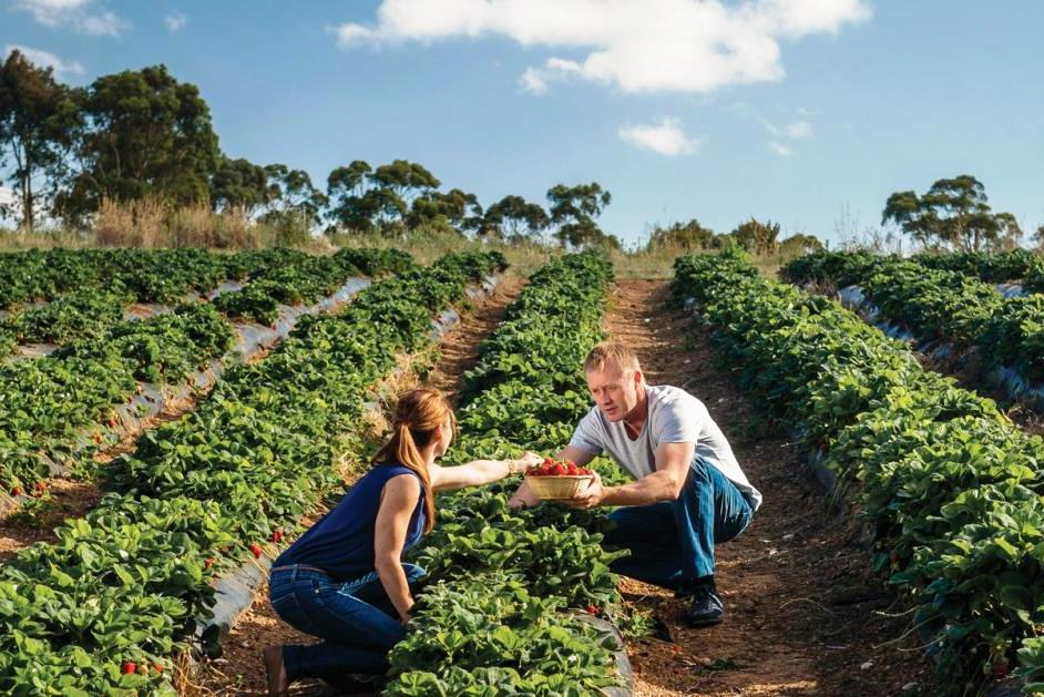 Picking strawberries in Australia
