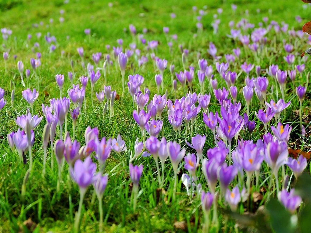 Lilac coloured crocuses at Benington Lordshiop Gardens