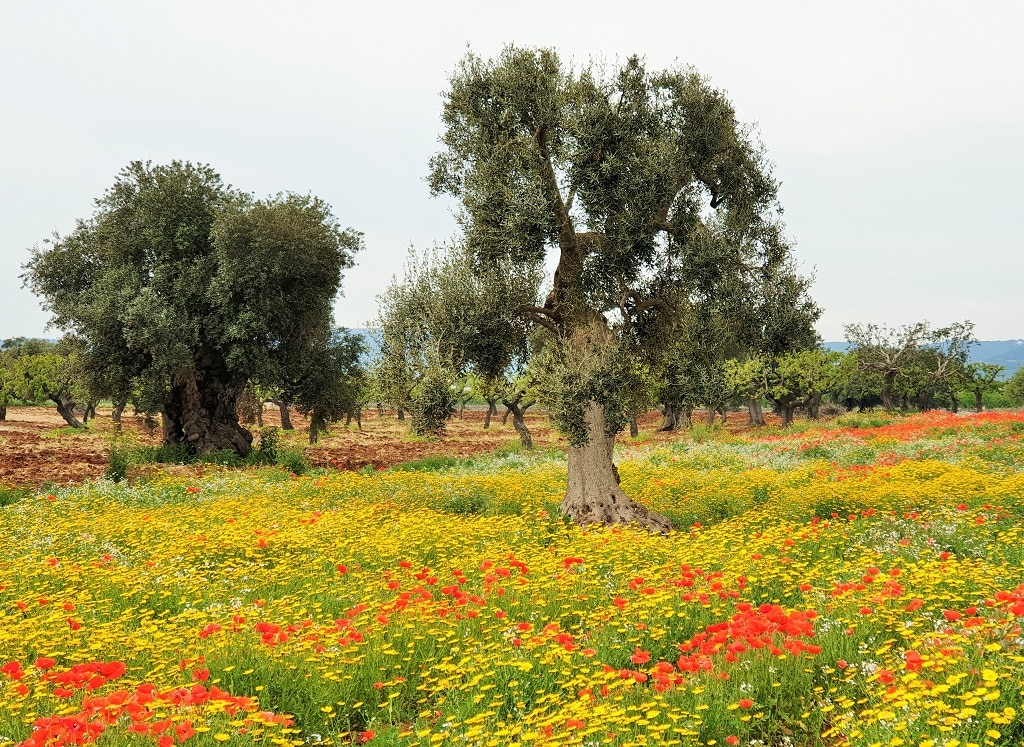 Puglian olive trees surrounded by wild flowers - Monopoli Italy