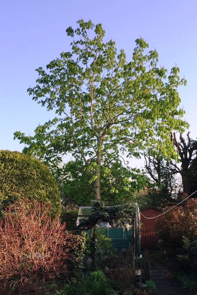 Conker tree in April 2018 behind the greenhouse
