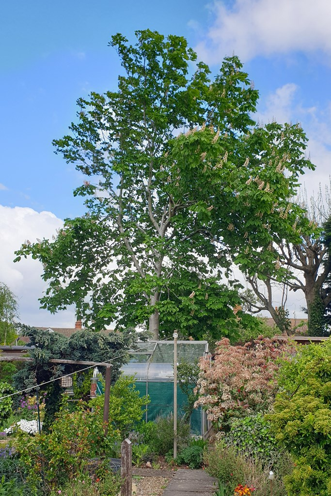 Conker tree in May 2019