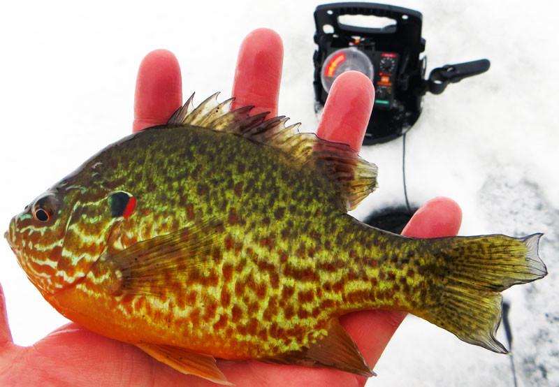 Ice fishing pumpkin seed sunfish minnesota