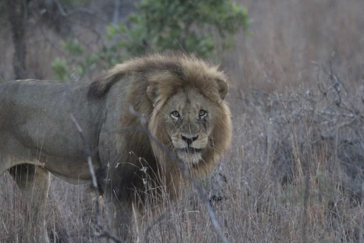 Top 5 Roads for spotting lions in the Kruger National Park