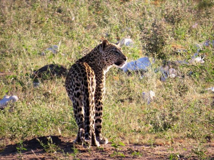 leopard seen at masorini picnic site