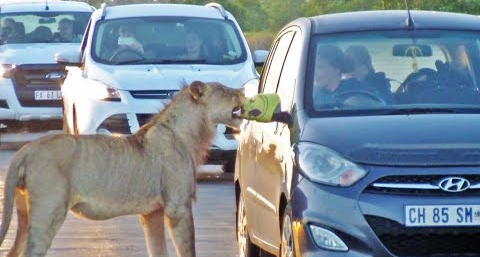 Curious Kruger Lions Tries to Open Car Door