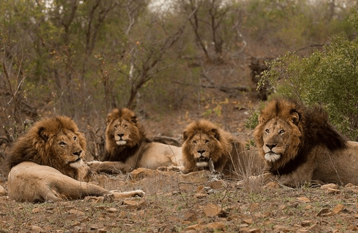Shishangeni Male - Lions of Kruger