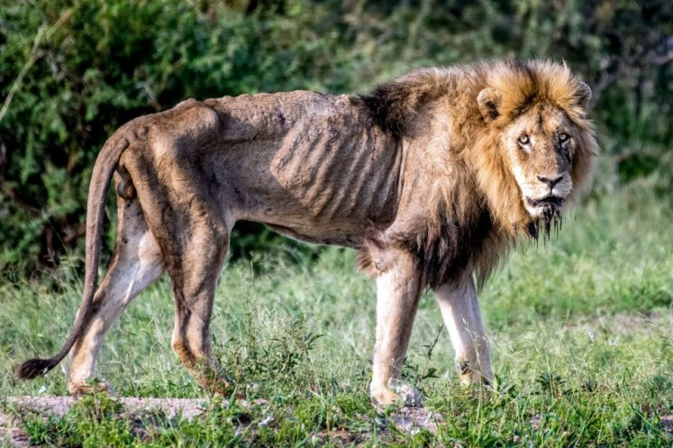 Update on the Skybed Males Lions