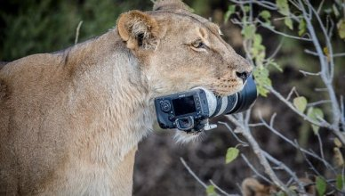 Lioness Steals Camera After Owner Drops It