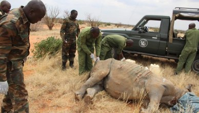 Only Black Rhino Out of 11 to Survive Relocation Dies from Lion Attack in Kenya