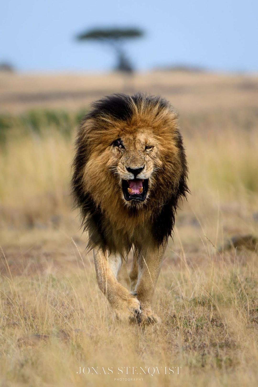 Scarface the Legend of the Masai Mara