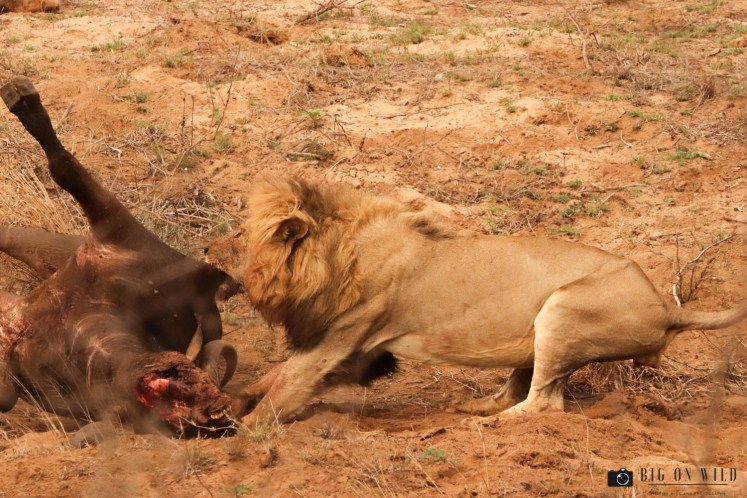 Lion with a buffalo kill - Africa's most successful predators