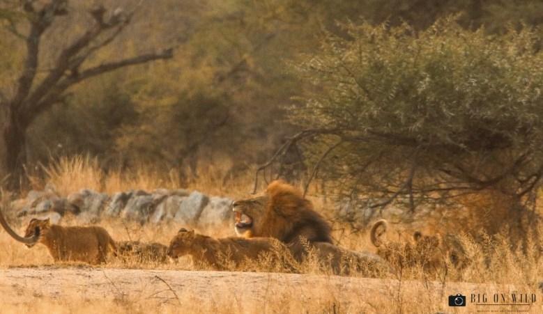 Understanding infanticide in lions