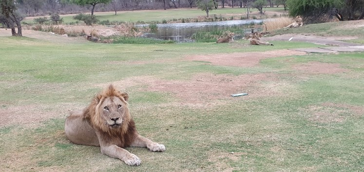 Lions spotted at Skukuza Golf course