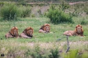 Young Jock Male Lions