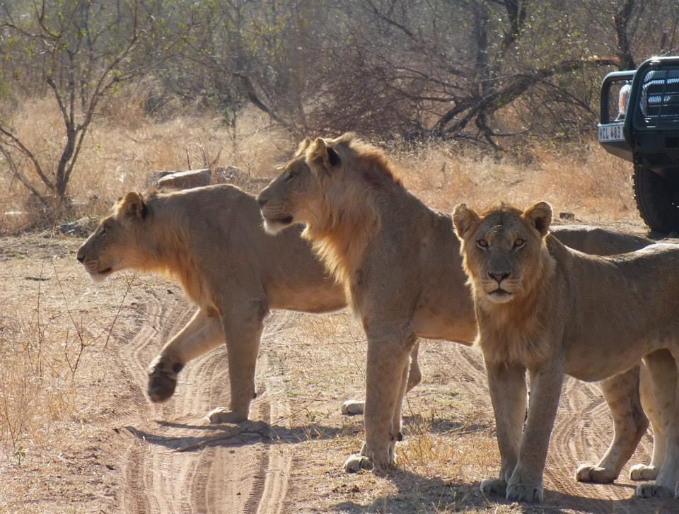 Mpondo Male Lions