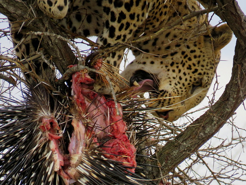 Hyenas Force Leopard to Higher Branches
