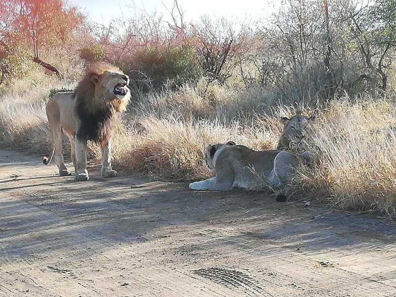 Hair Raising Lion Encounter