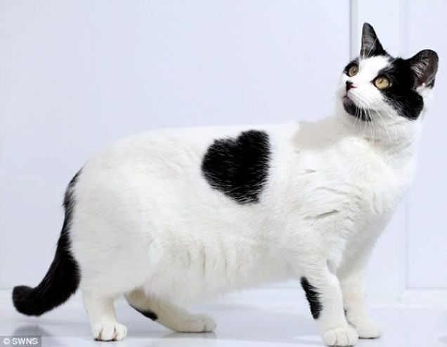 gato-corazon