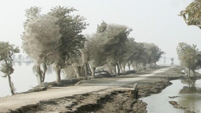 web06 Нашествие пауков на деревья в Пакистане
