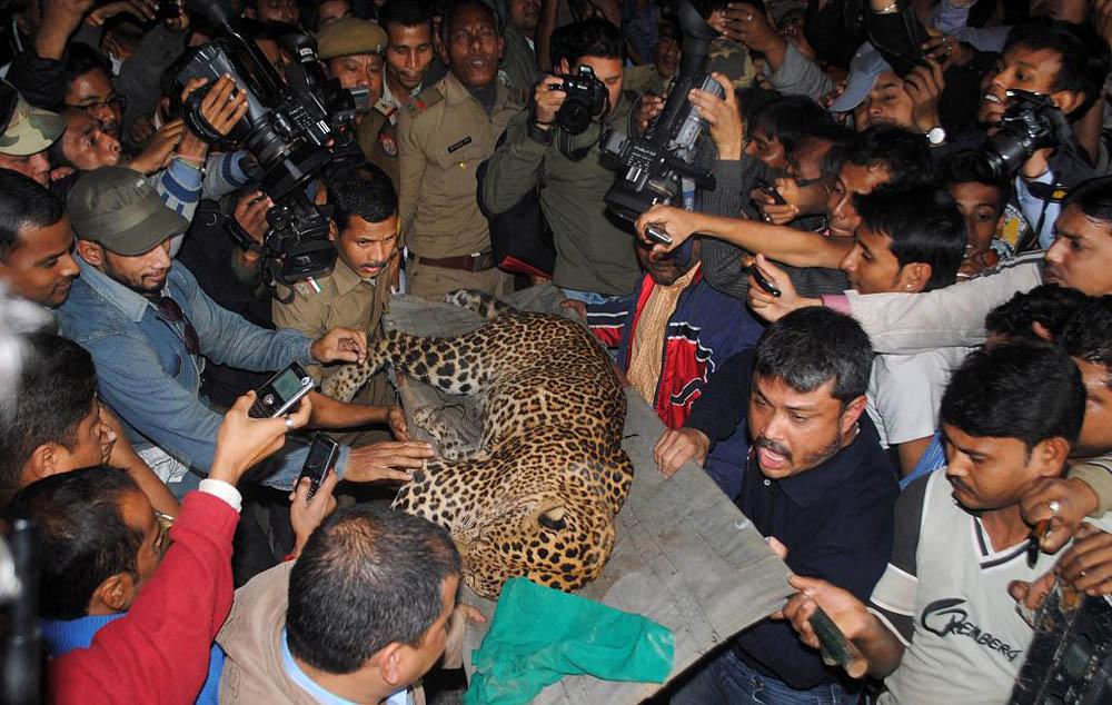 05 Леопард скальпировал горожанина в Индии