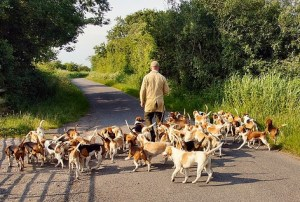 field-beagles.jpg