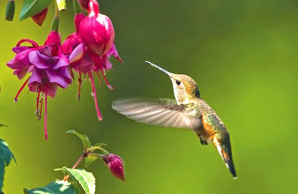 hummingbird wallpaper many hd wallpaper