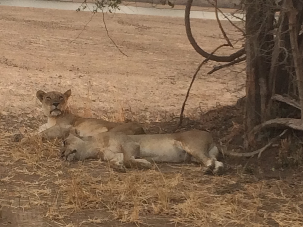 Two lions in Zambia