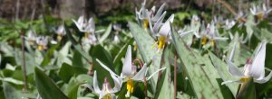 Dozens of white trout lilies in the sun.
